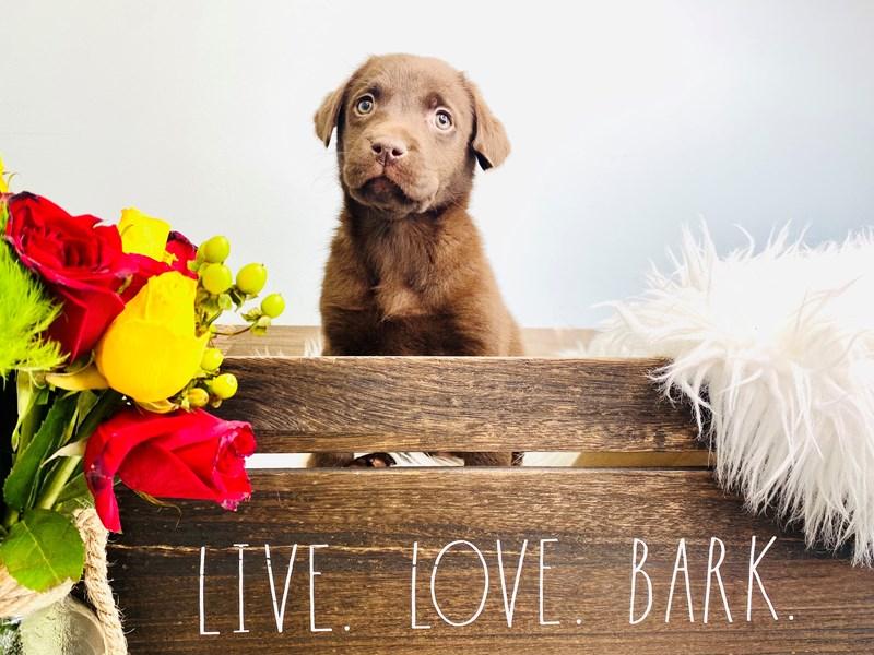 Labrador Retriever – Shelby