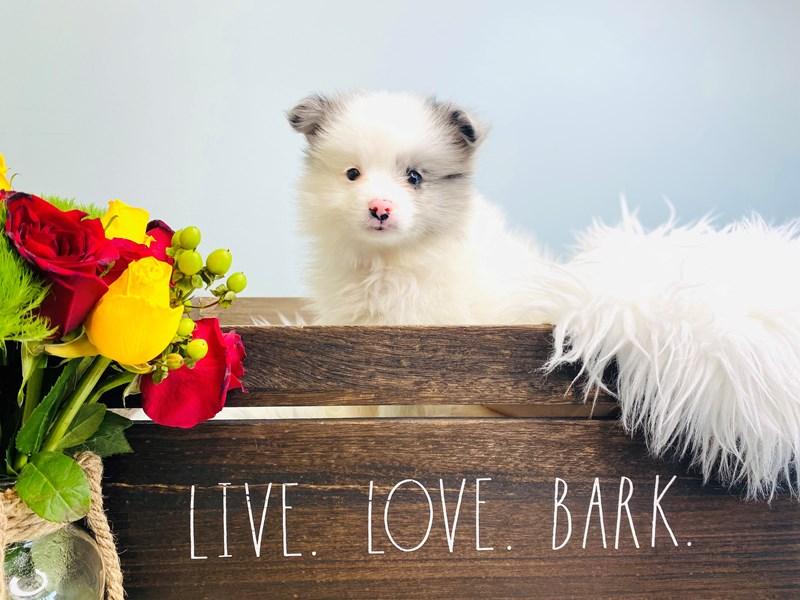 Pomeranian – Milo