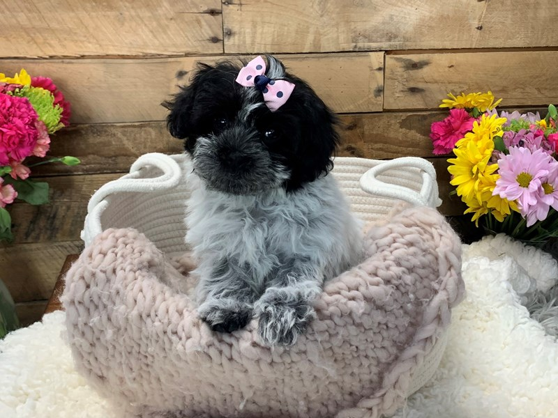 Poodle Mini-Female-Black / White-3136473-The Barking Boutique