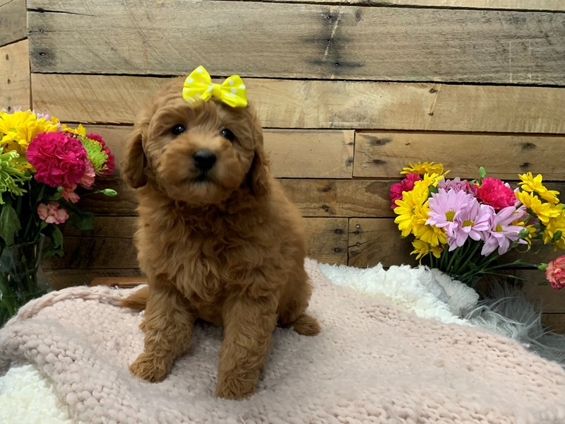 Goldendoodle Mini 2nd Gen-Female-Apricot-3136466-The Barking Boutique
