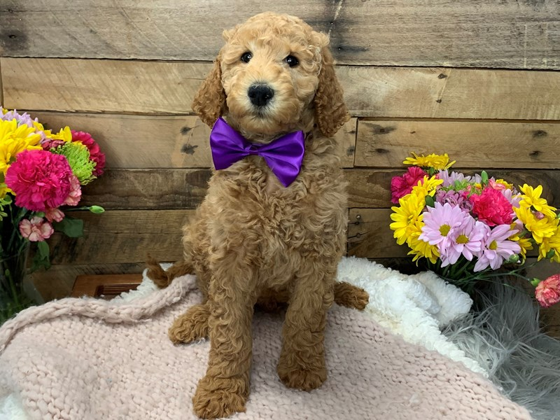 Goldendoodle 2nd Gen-Male-Cream-3136464-The Barking Boutique