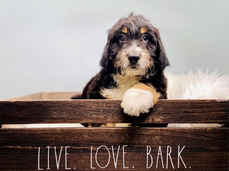 Bernadoodle-Male-Black Tri-color-3145403-The Barking Boutique