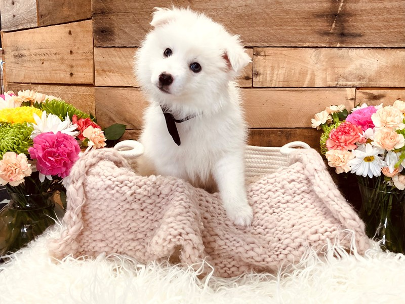 Huskimo-Male-White-3116835-The Barking Boutique