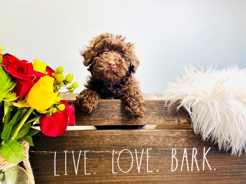 Poodle-Female-Chocolate-3136498-The Barking Boutique