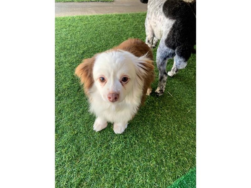 Miniature Australian Shepherd-Female-Red / White-3127614-The Barking Boutique