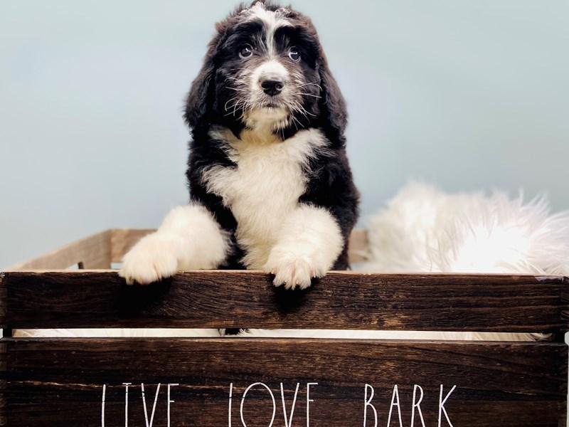 Bernadoodle-Female-Black Tri-color-3145408-The Barking Boutique