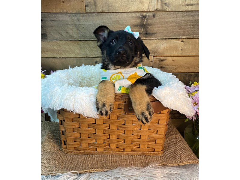 German Shepherd-Female-Black and Tan-3144765-The Barking Boutique