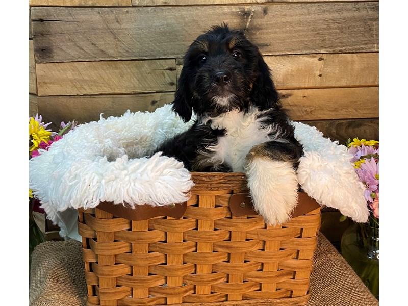 Bernadoodle-Male-Black Tri-color-3145389-The Barking Boutique