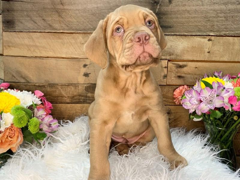 Dogue De Bordeaux-Male-Fawn-3154954-The Barking Boutique