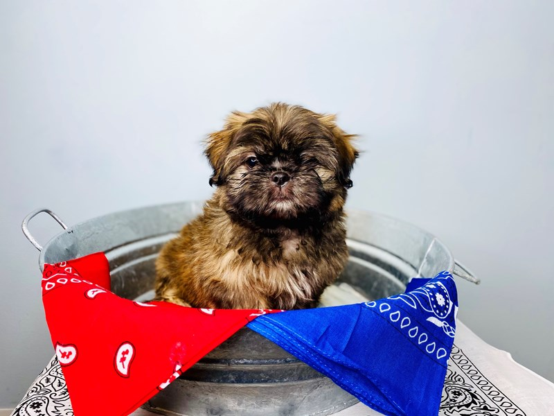 Shih Tzu-Male-Brindle-3158548-The Barking Boutique