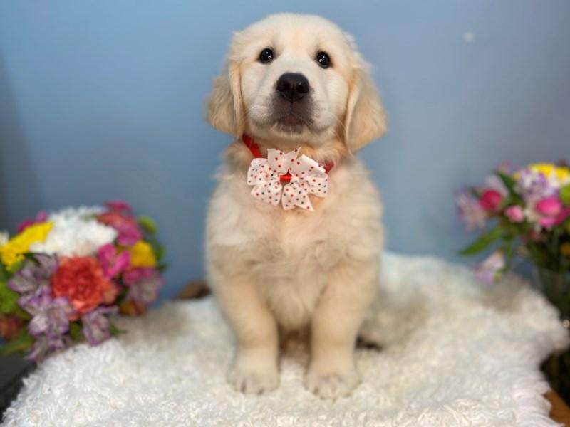 Golden Retriever-Male-Cream-3158589-The Barking Boutique