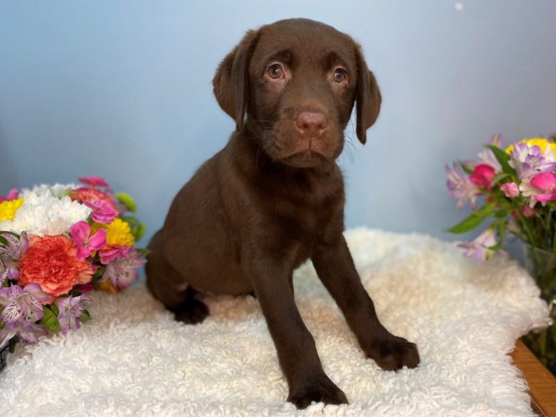 Labrador Retriever-Female-Chocolate-3158561-The Barking Boutique