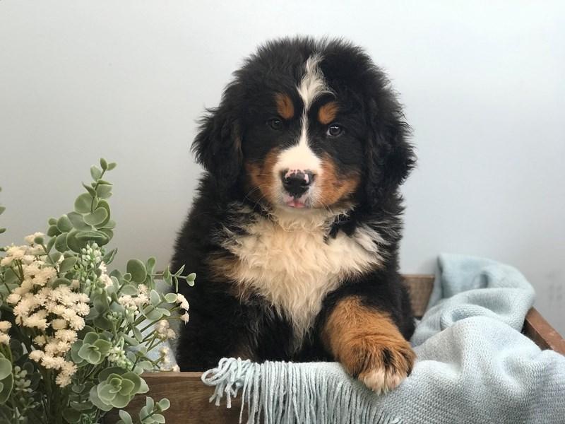Bernese Mountain Dog-Male-Black-Tri-3165030-The Barking Boutique