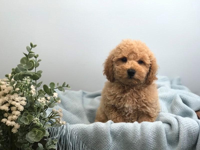 Miniature Poodle – Groot