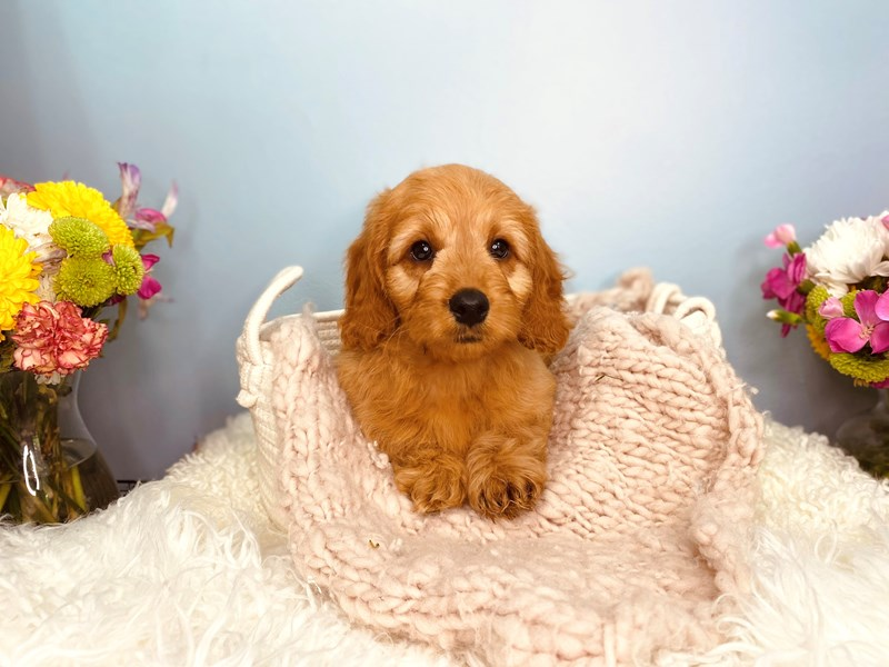 Mini Goldendoodle-Male-Apricot-3165165-The Barking Boutique