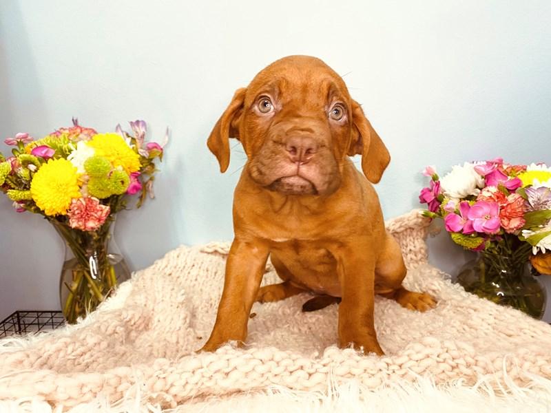 Dogue De Bordeaux-Female-Faux Fawn-3164666-The Barking Boutique