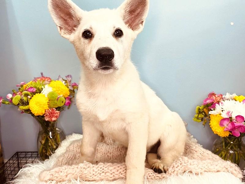 German Shepherd-Female-White-3165389-The Barking Boutique
