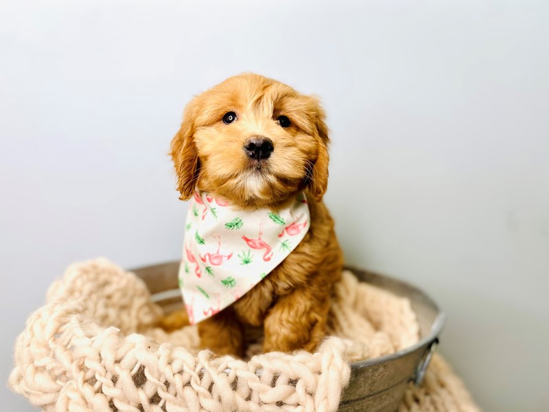 F2 MINI GOLDENDOODLE-Female-Red-3168224-The Barking Boutique