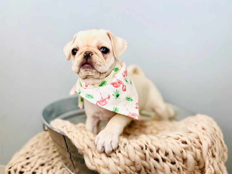 Pug-Female-White-3168207-The Barking Boutique