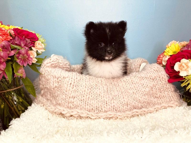 Pomeranian-Male-Black / White-3168209-The Barking Boutique