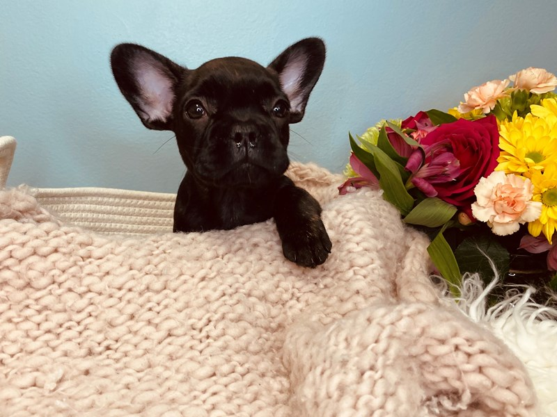 French Bulldog-Female-Brindle-3158552-The Barking Boutique