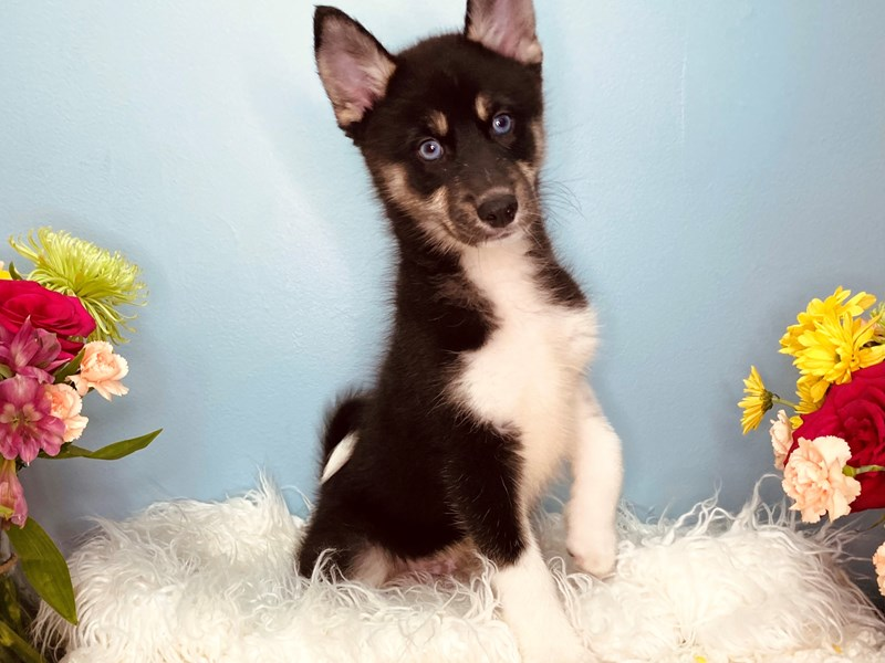 Pomsky-Male-Black and Tan-3155117-The Barking Boutique