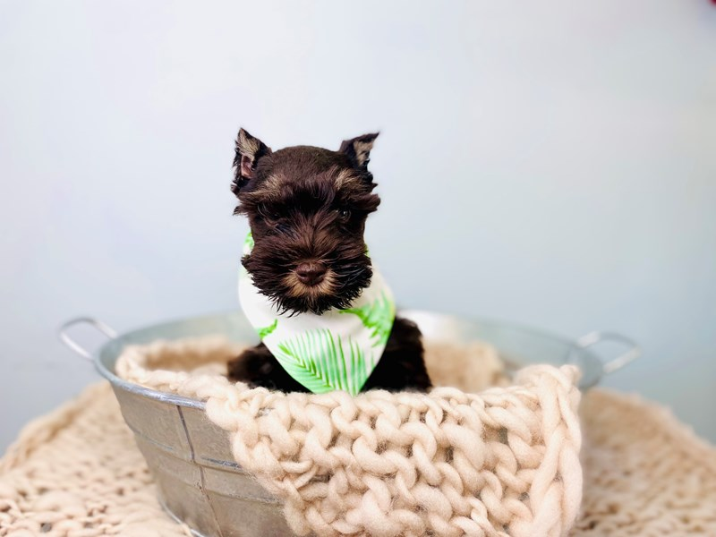 Miniature Schnauzer-Male-Chocolate and Tan-3176907-The Barking Boutique