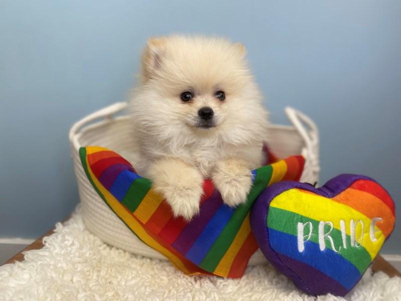 Pomeranian-Male-Cream-3176910-The Barking Boutique