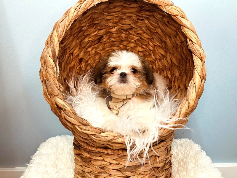 Shih Tzu-Male-Brown and White-3183255-The Barking Boutique