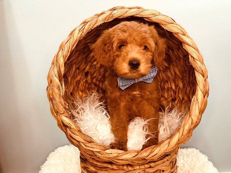 F1B Mini Goldendoodle-Male-Red-3183638-The Barking Boutique