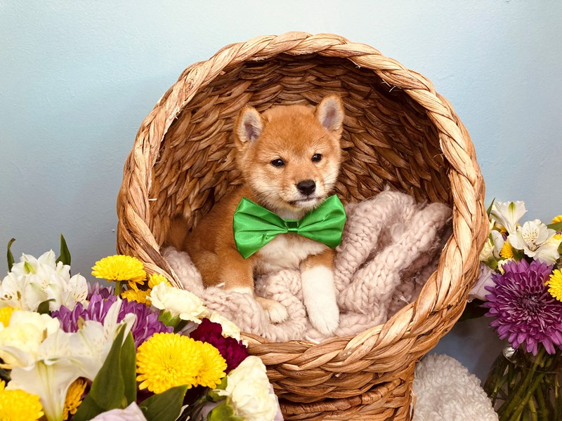 Shiba Inu-Male-Red-3186507-The Barking Boutique