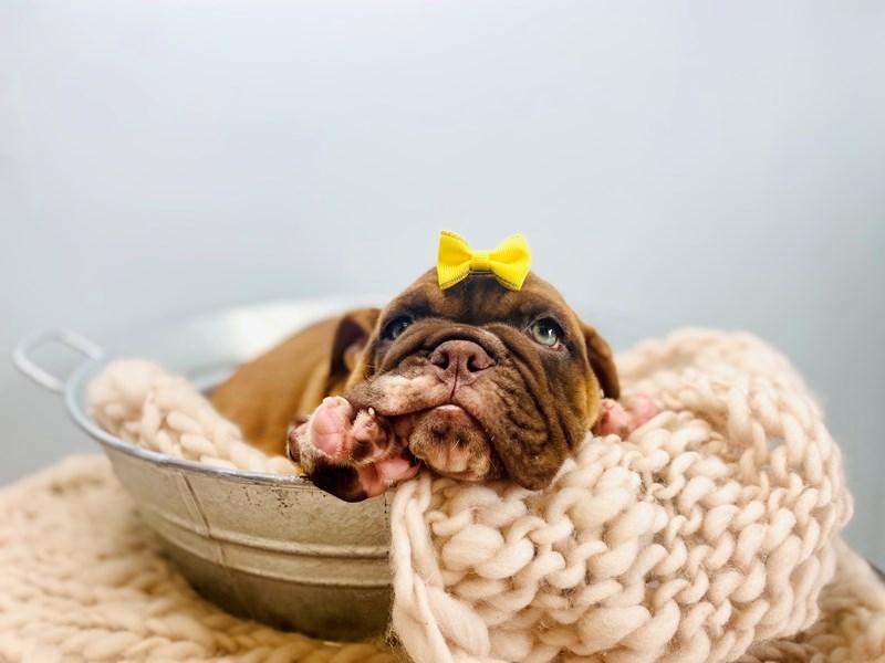 Victorian Bulldoge-Female-Chocolate / White-3186503-The Barking Boutique