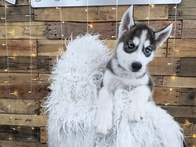 Siberian Husky-Male-Gray / White-3148485-The Barking Boutique