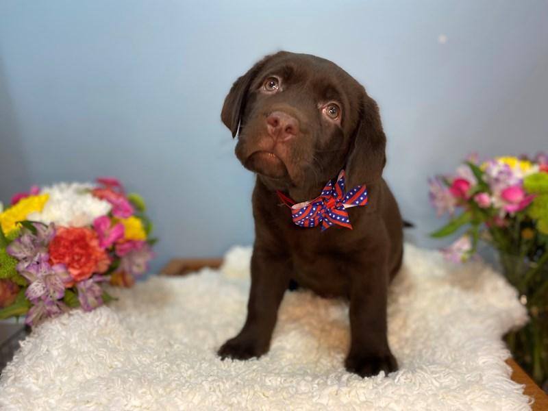 Labrador Retriever-Male-Chocolate-3158560-The Barking Boutique