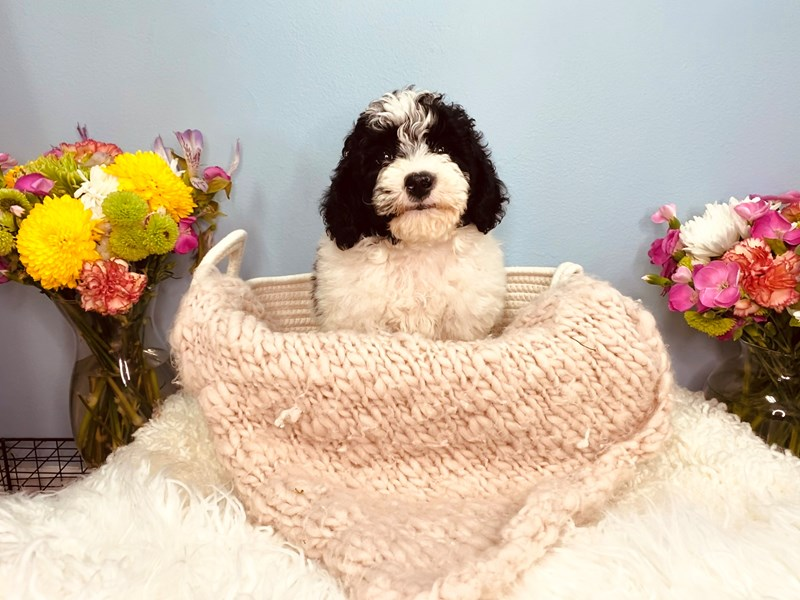 MOYEN POODLE-Female-Black and white-3164820-The Barking Boutique