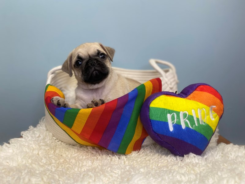 Pug-Male-Fawn-3176906-The Barking Boutique