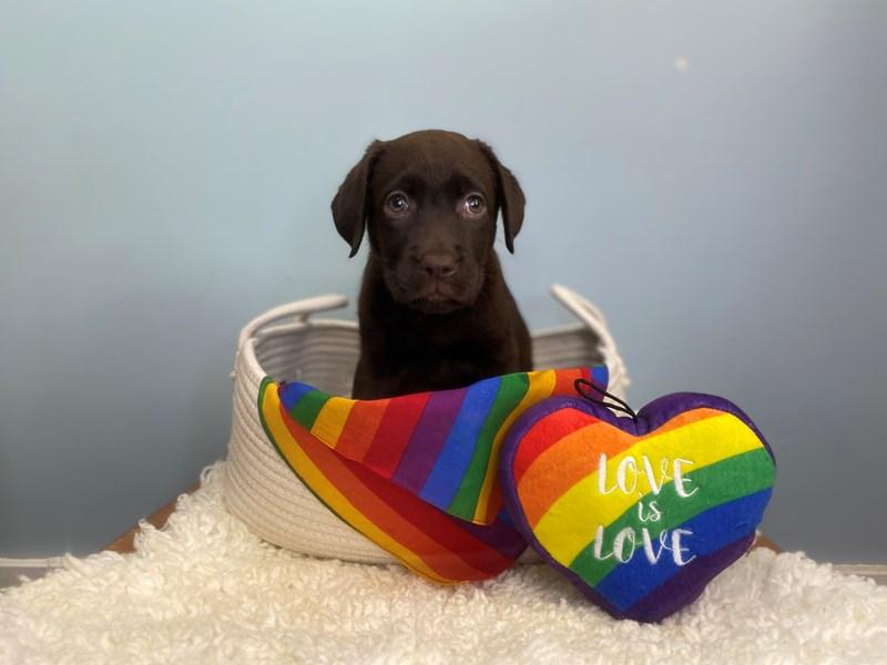 Labrador Retriever-Female-Chocolate-3176855-The Barking Boutique