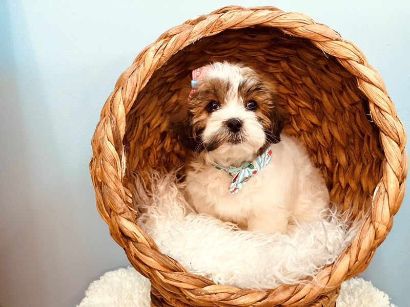Shipoo-Female-Brown and White-3183386-The Barking Boutique