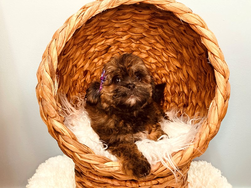 Shipoo-Female-Brown and Parti-3183390-The Barking Boutique