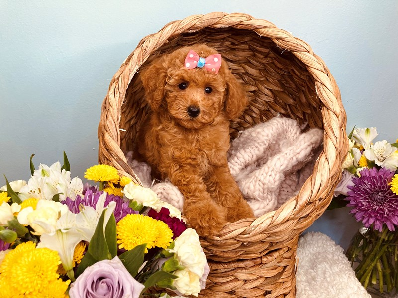 Poodle-Female-Red-3186511-The Barking Boutique