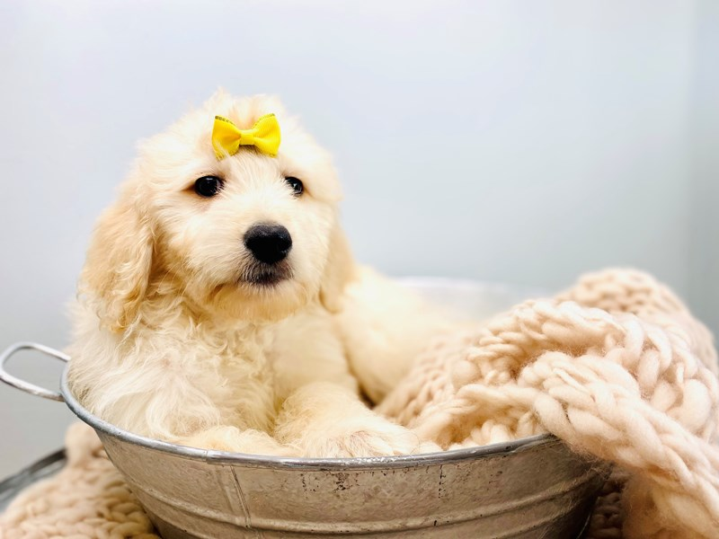 Goldendoodle – Caitlyn