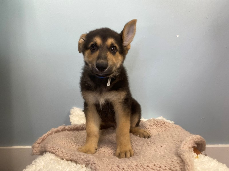 German Shepherd-Male-Brown and Black-3192339-The Barking Boutique