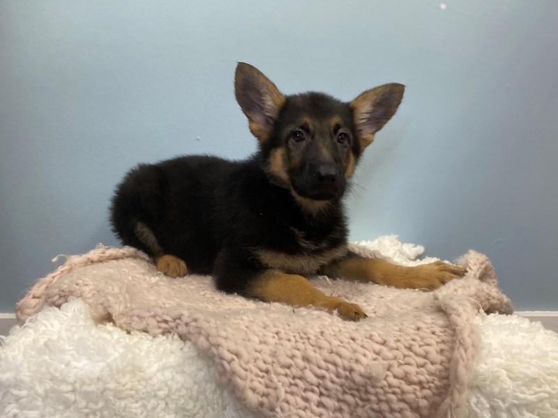 German Shepherd-Female-Black and Tan-3192583-The Barking Boutique