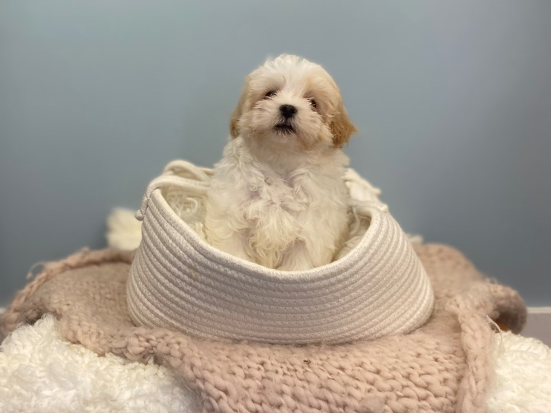 Maltipoo-Male-Red and White-3192281-The Barking Boutique