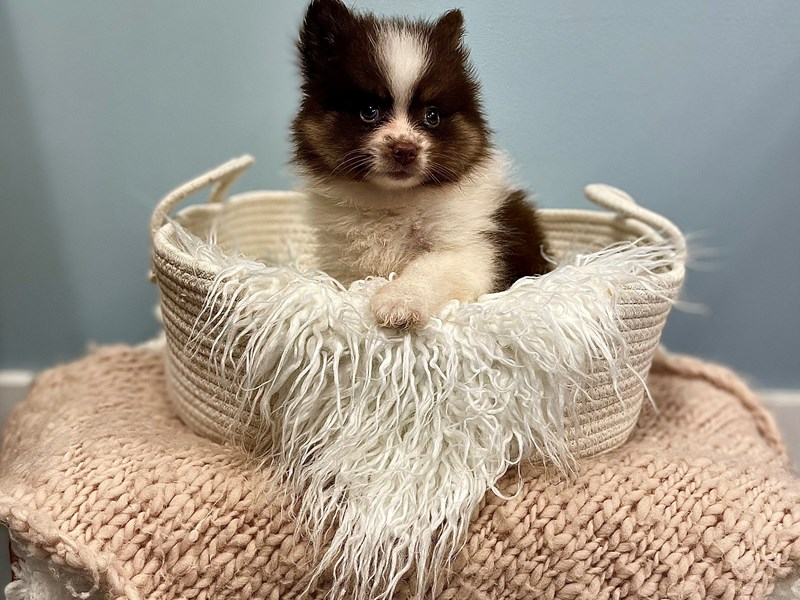 F1B Pomsky-Male-Chocolate / White-3195302-The Barking Boutique