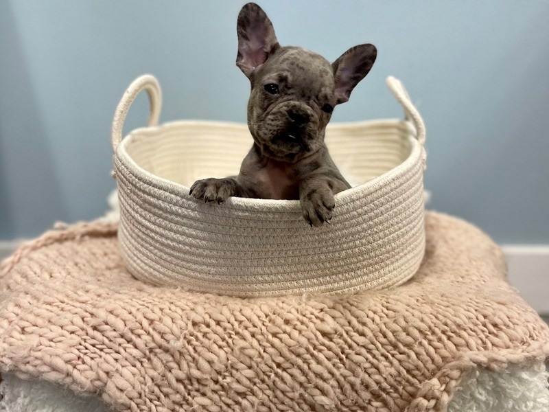 French Bulldog-Male-Blue Merle-3195307-The Barking Boutique