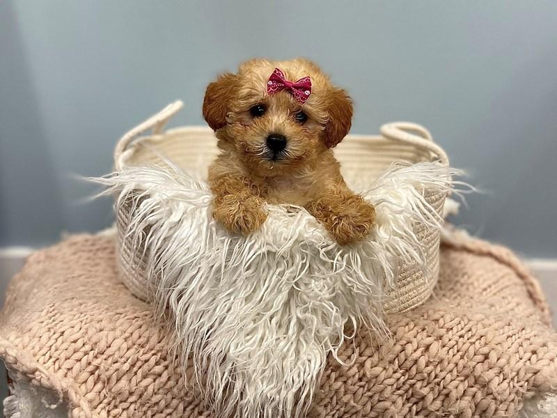 Goldendoodle Mini 2nd Gen-Female-Apricot-3195314-The Barking Boutique