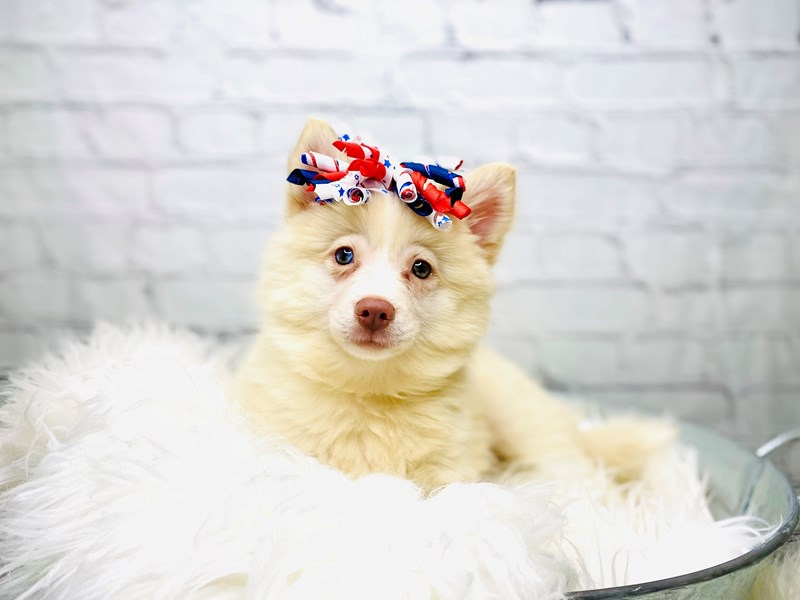 Pomsky-Female-Cream / White-3205070-The Barking Boutique