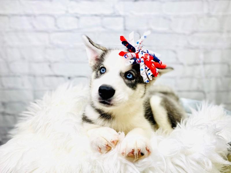 Siberian Husky – Firework