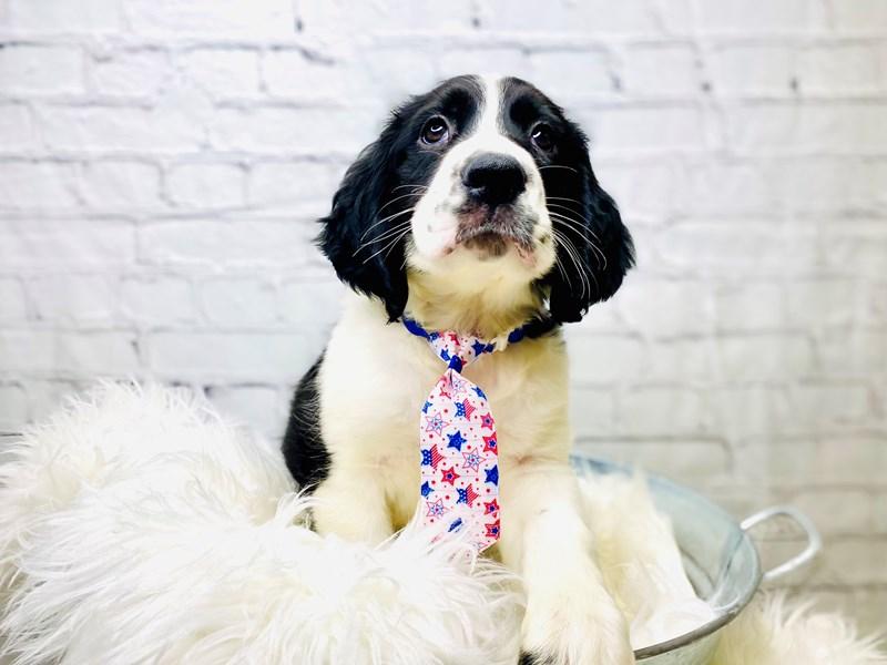 English Springer Spaniel-Male-Black / White-3205078-The Barking Boutique